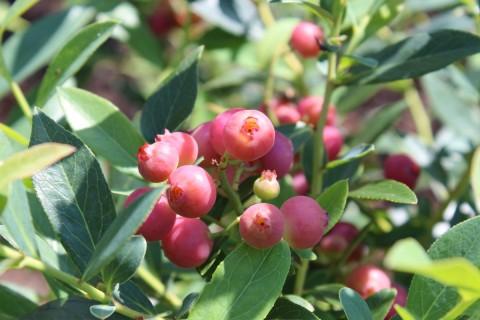 Venta online planta  Arandano Rosa