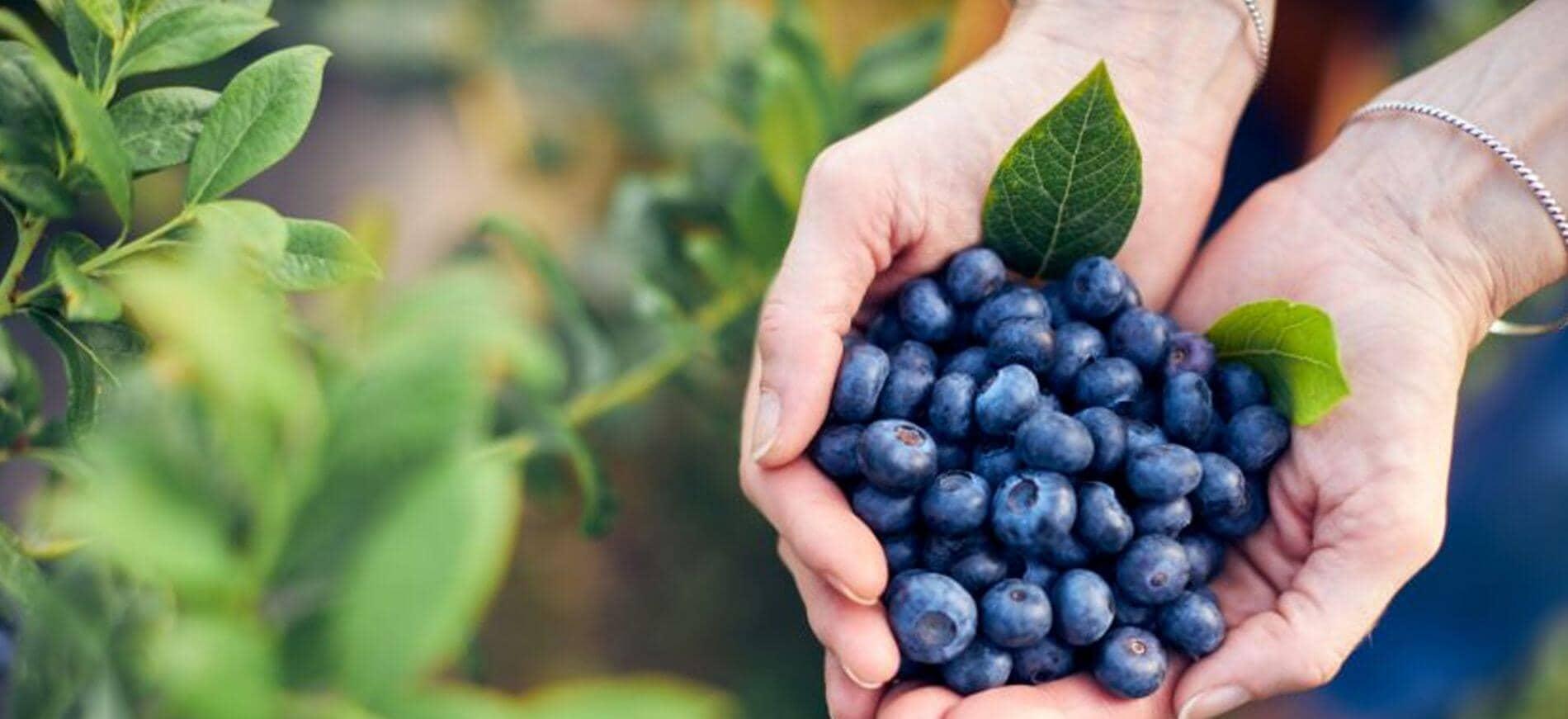Venta online de planta de arándanos y frutos del bosque