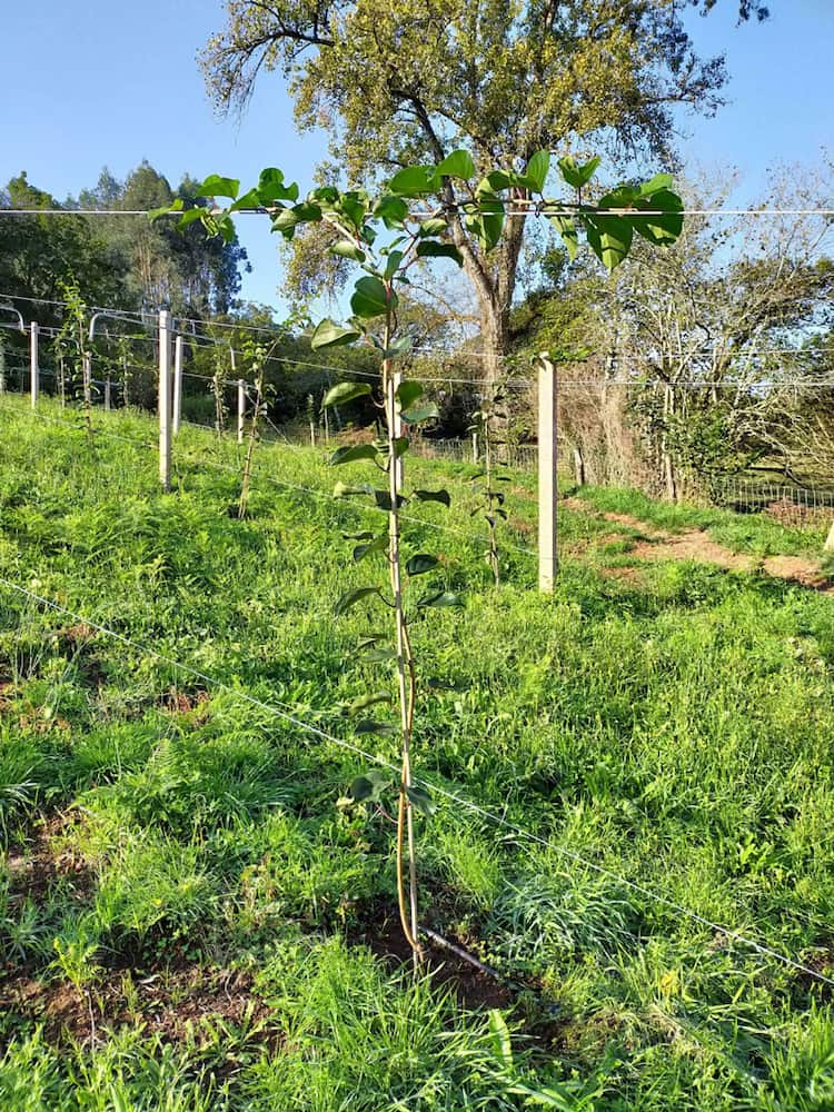 trucos para plantar mini kiwi
