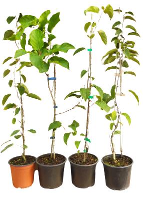 Venta online de plantas de mini kiwi kiwiño en maceta
