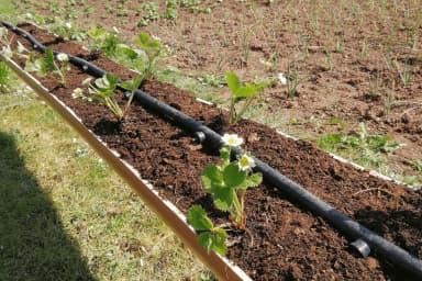 Cómo cultivar fresas fuera suelo