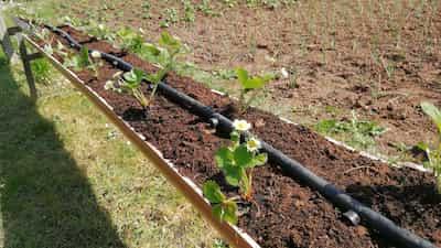 Cultivar fresas san adreas