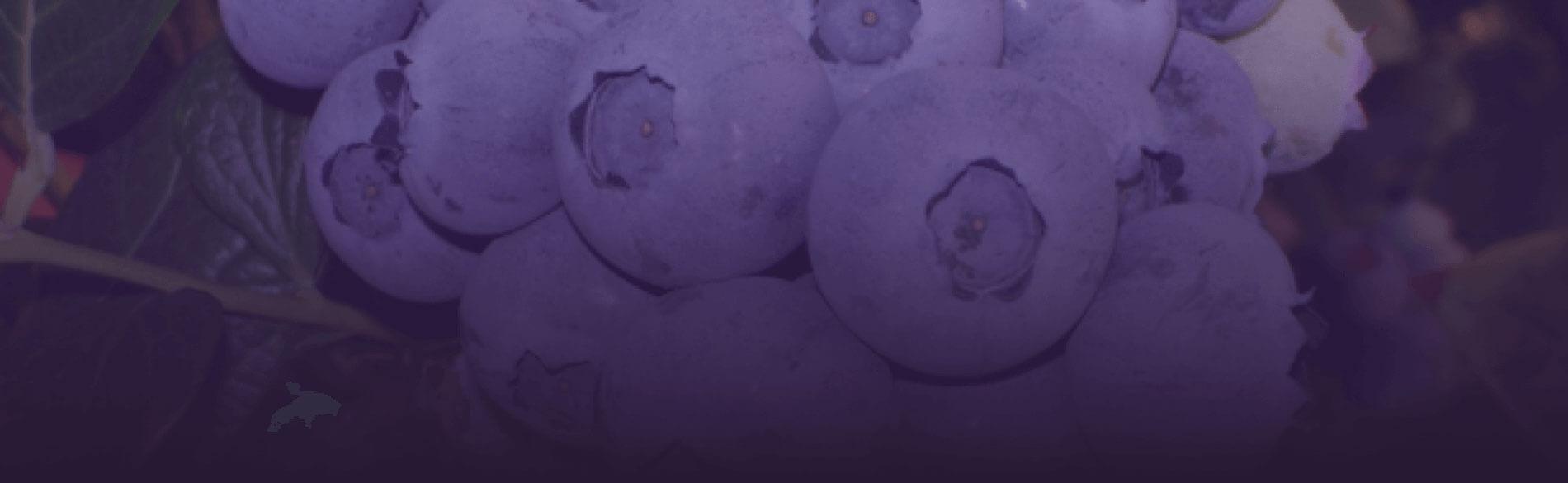 Venta online de plantas de arándanos y frutos rojos