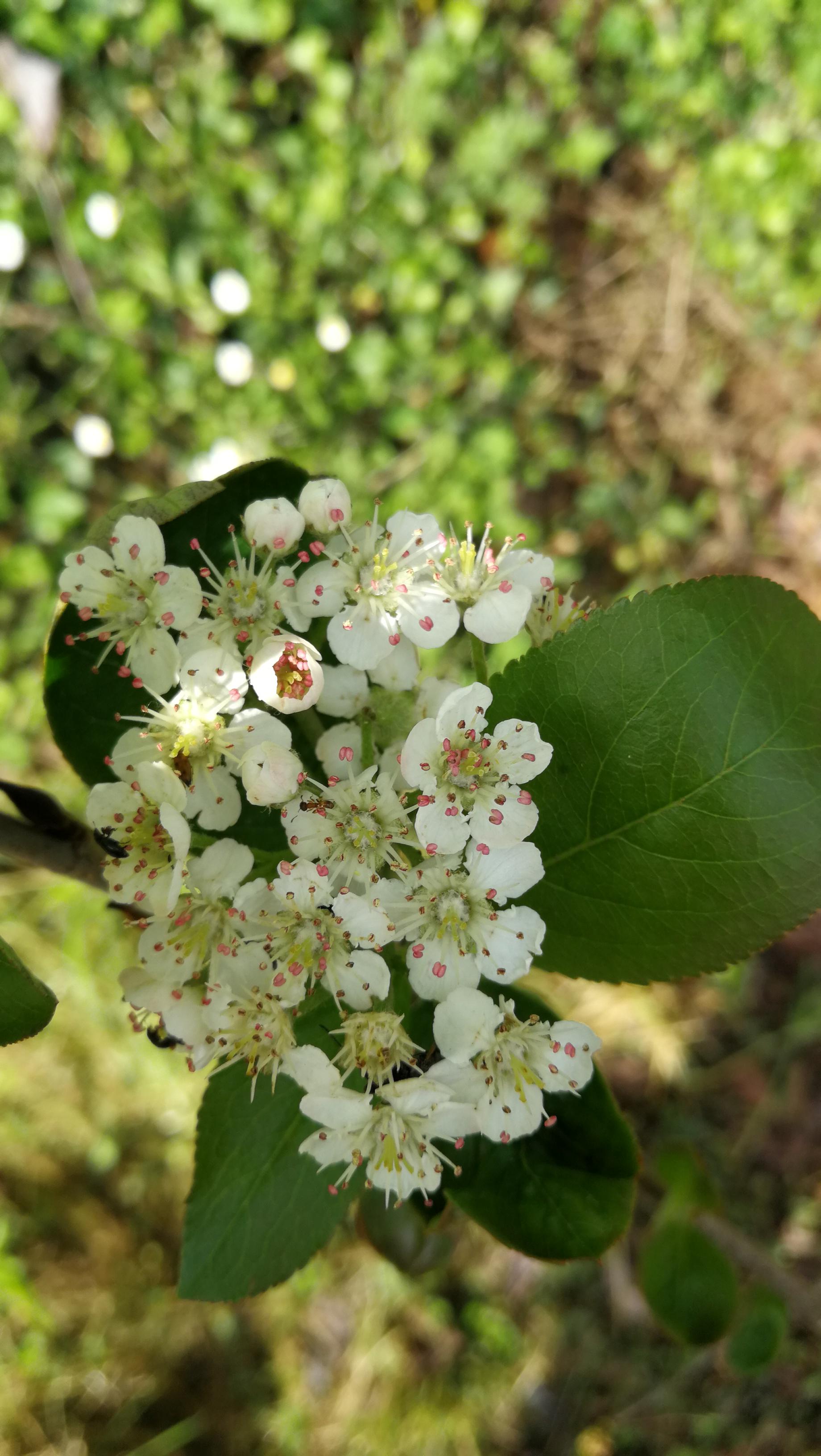 Floración de la aronia