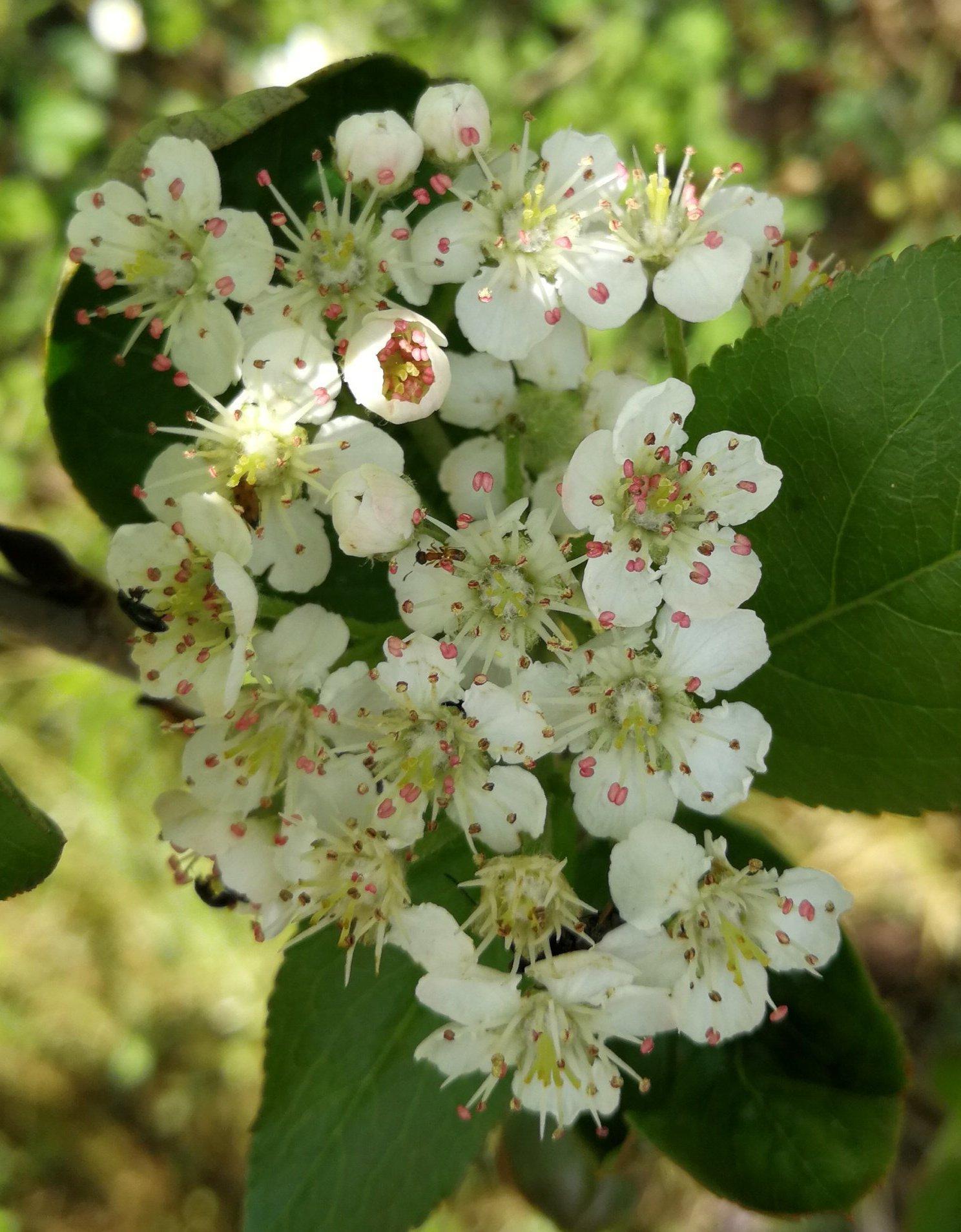 Flores aronia