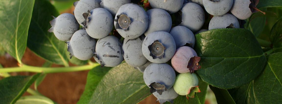 Guía práctica y fácil para cultivar tus propios berries