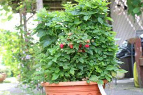 Venta online planta  frambuesa de balcon rubus idaeus