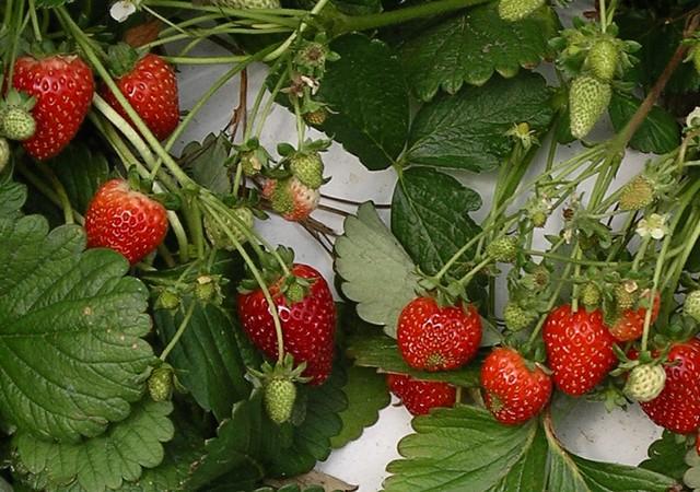 Venta plantas de fresa san andreas