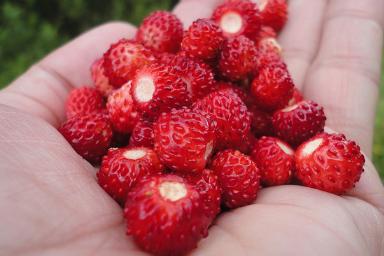 Venta online de plantas de fresas del bosque