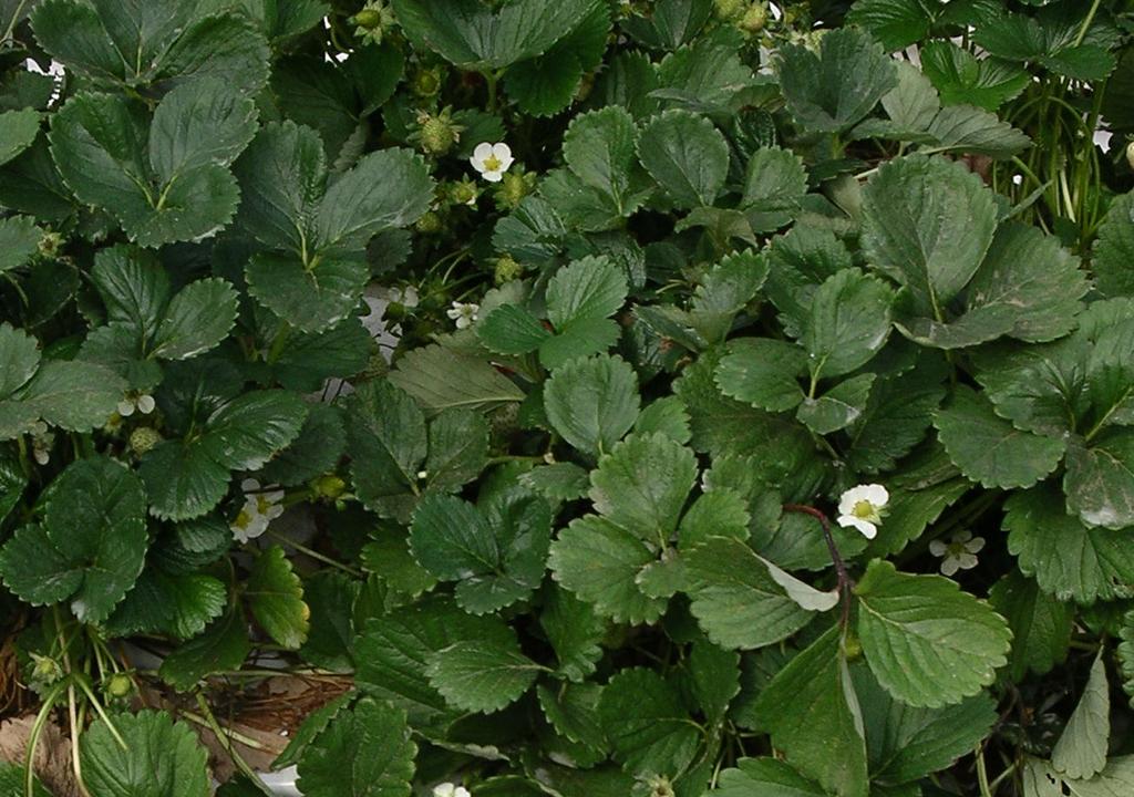 strawberry plant