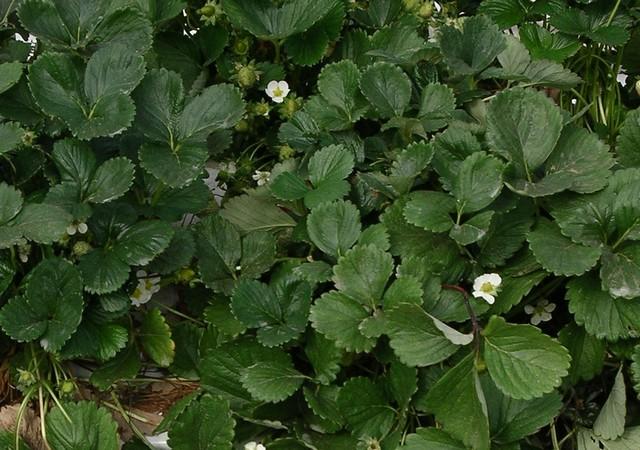 Plantas de fresa, venta online