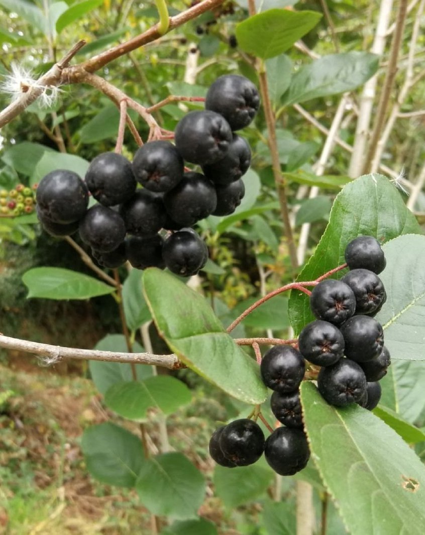 Comer aronia beneficios