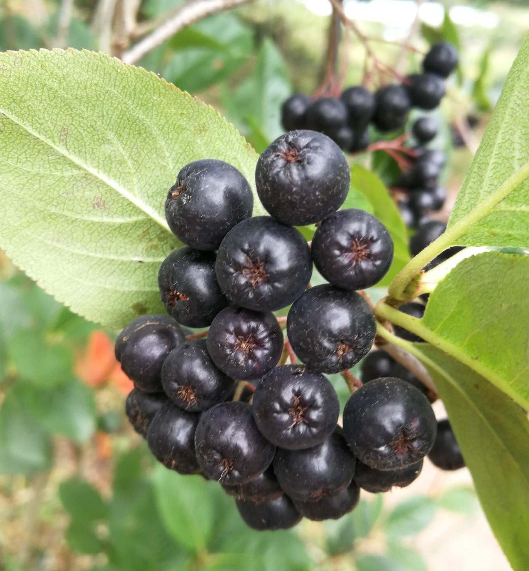 Frutos de las plantas de aronia melano