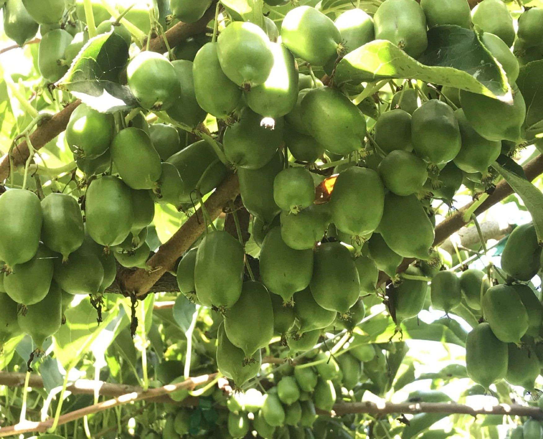 Frutos del kiwiño