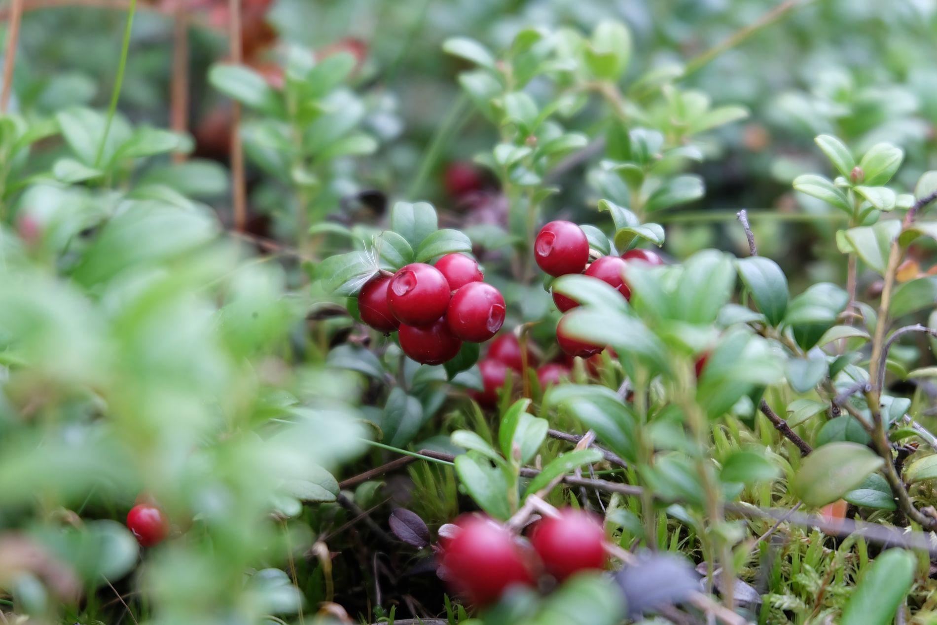 Frutos silvestres de arándano rojo