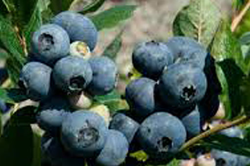 Blueberry Gupton