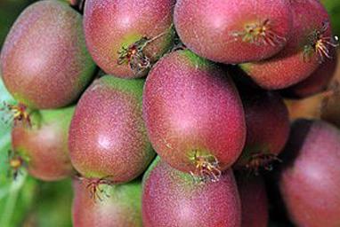 Venta online de plantas de mini kiwi ananasnaya
