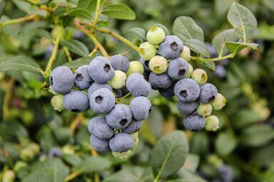 Venta online de plantas de arándano Centra blue