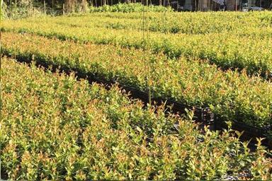 Venta online de plantas de arándano chadler