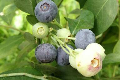 Venta online de plantas de arándano SKYBLUE