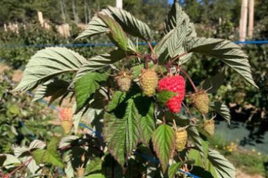 Venta online planta frambuesa regina