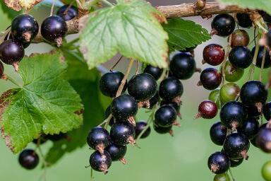 Venta online planta grosella negra