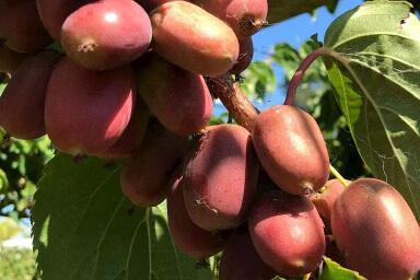 Venta online de plantas de mini kiwi scarlet september