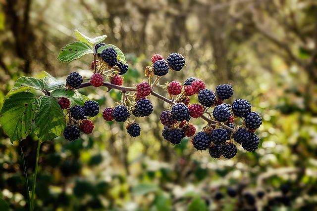 Frutos de zarzamora Rubus fruticosus