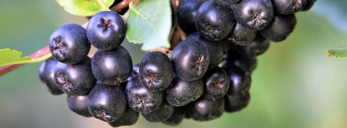 Venta online de plantas de aronia