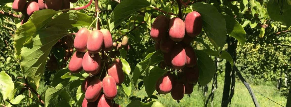 Venta online de plantas de mini kiwi kiwiño kiwiberry