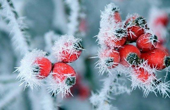 Horas de frío en frutos del bosque