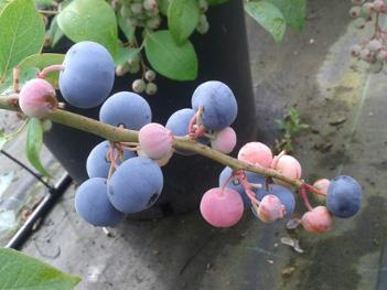 Blueberry skyblue