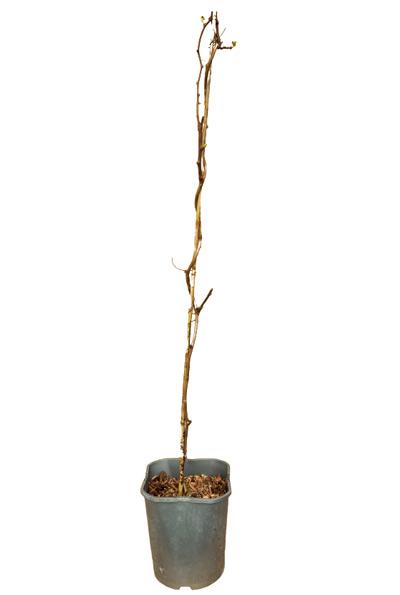 Venta online Planta kiwiberry Vitikiwi maceta 1,5L