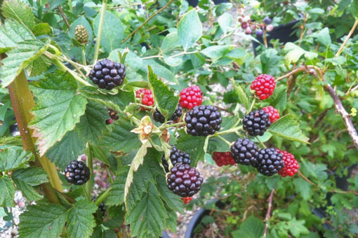 Blackberry Triple crown
