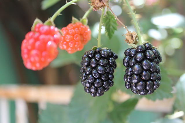Frutos de zarzamora madurando Rubus fruticosus